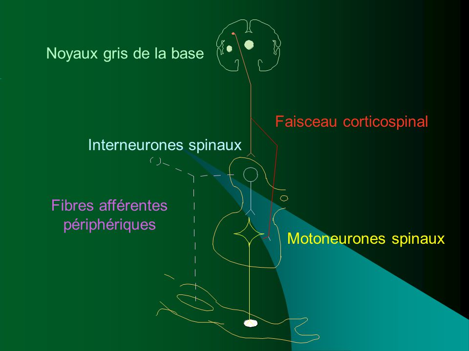 Faisceau corticospinal