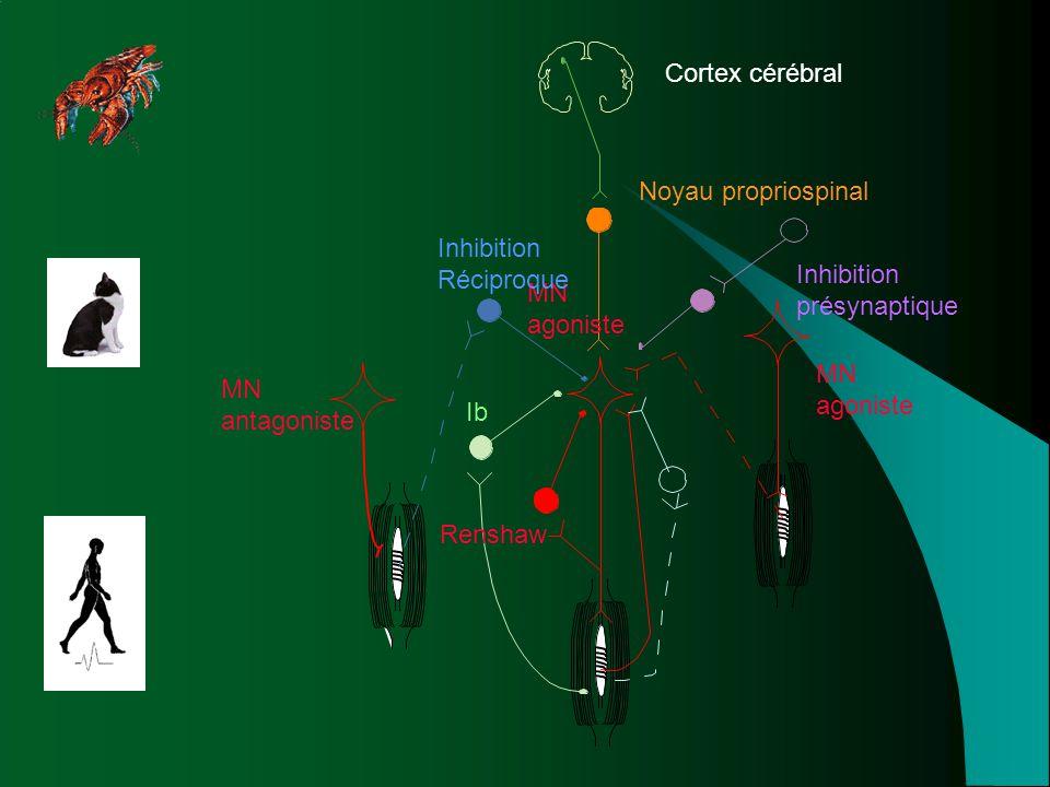 Cortex cérébral Noyau propriospinal. Inhibition. présynaptique. MN. antagoniste. agoniste. Réciproque.