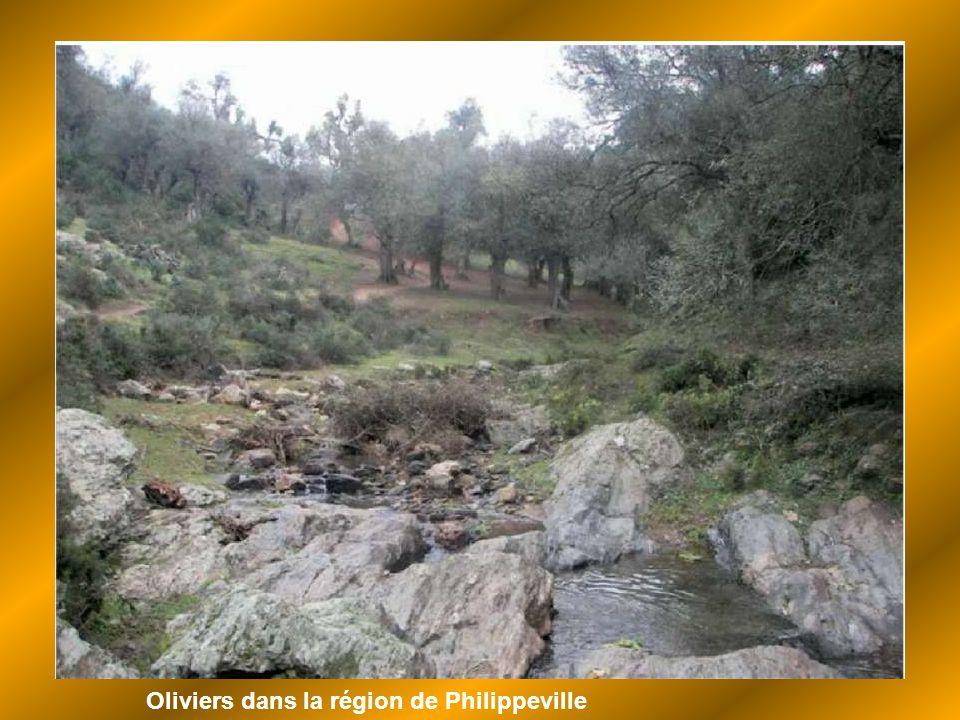 Oliviers dans la région de Philippeville