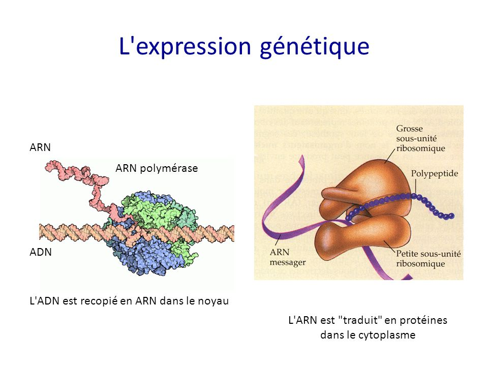 L expression génétique