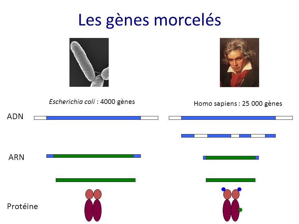 Les gènes morcelés ADN ARN Protéine Escherichia coli : 4000 gènes