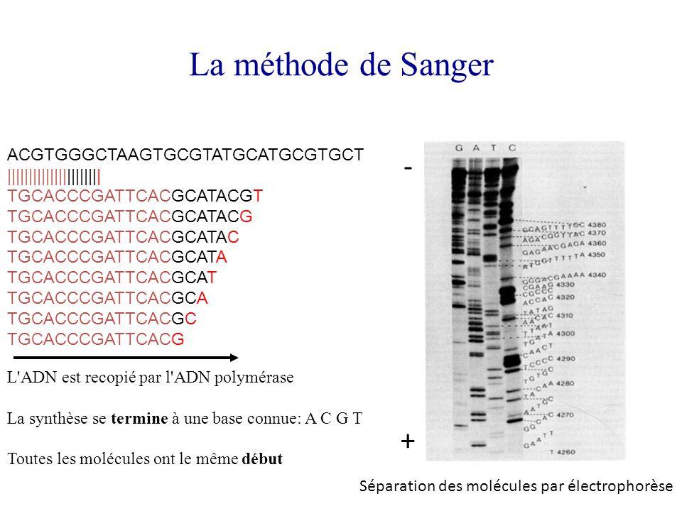 La méthode de Sanger - + ACGTGGGCTAAGTGCGTATGCATGCGTGCT