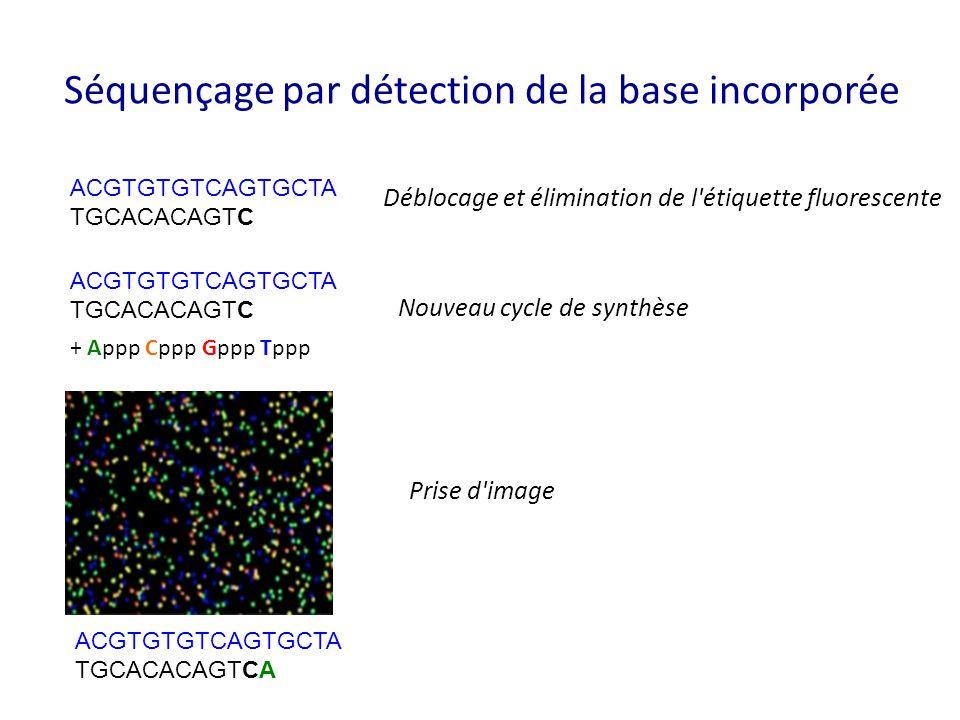 Séquençage par détection de la base incorporée