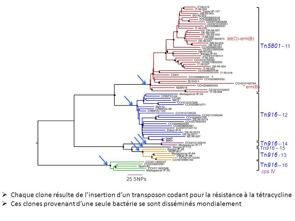 25 SNPs * tet(O)-erm(B) * erm(B) Tn5801 – 11. Tn916 – 12. Tn916 – 16. cps IV. Tn916 - 13. Tn916 – 14.