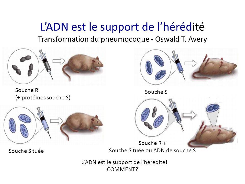 L'ADN est le support de l'hérédité Transformation du pneumocoque - Oswald T. Avery