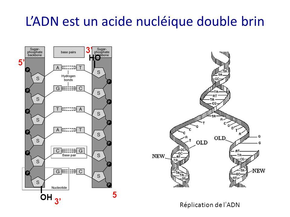 L'ADN est un acide nucléique double brin