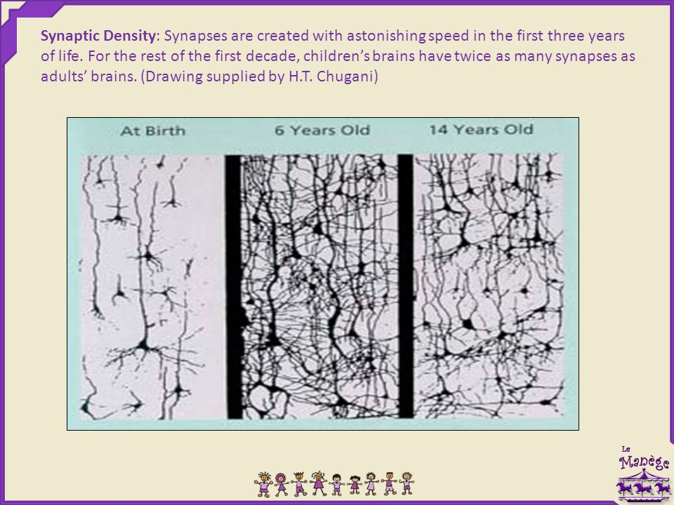 Synaptic Density: Synapses are created with astonishing speed in the first three years of life.