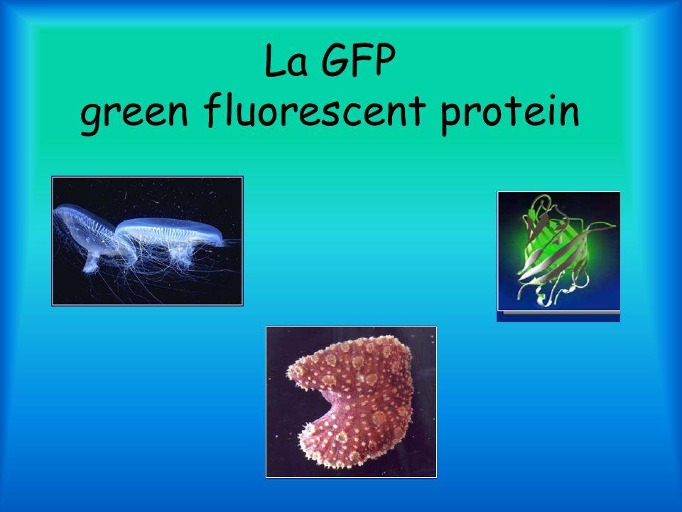 La GFP green fluorescent protein