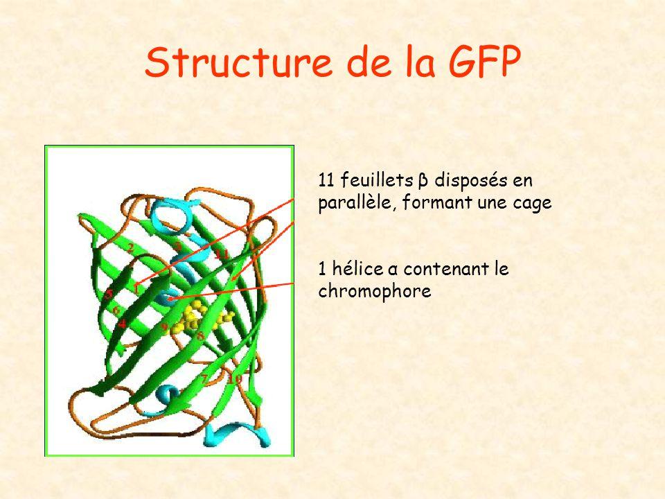 Structure de la GFP 11 feuillets β disposés en parallèle, formant une cage.