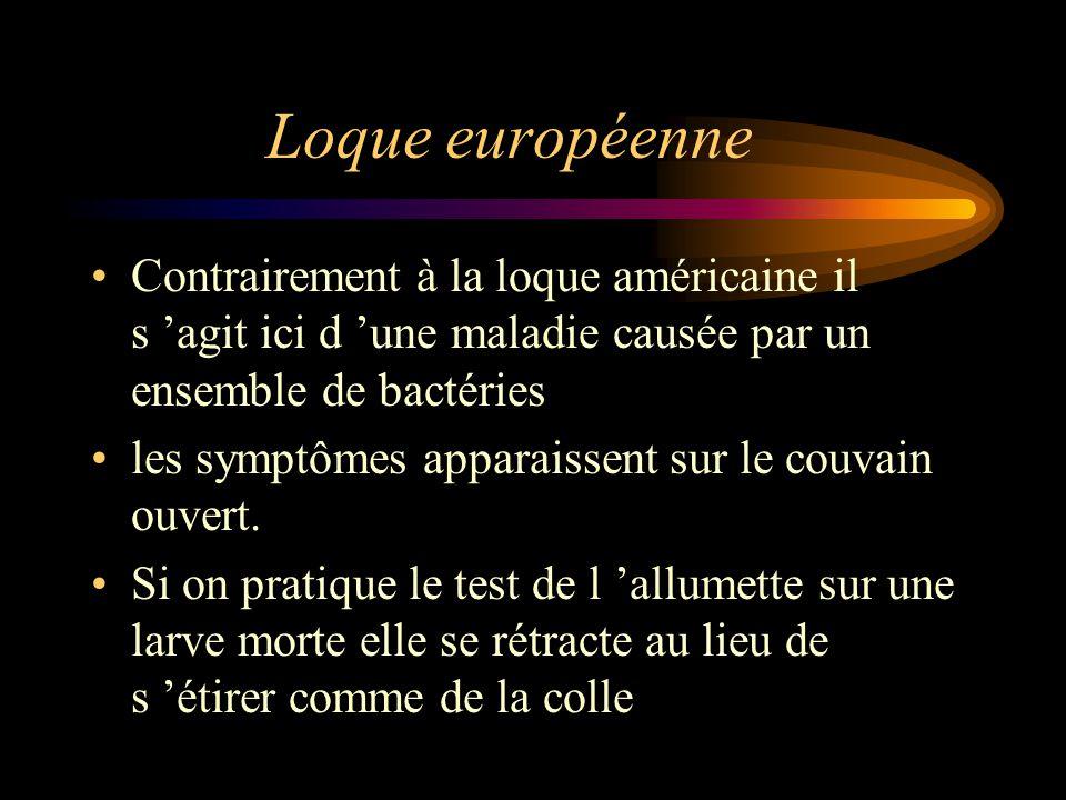 Loque européenne Contrairement à la loque américaine il s 'agit ici d 'une maladie causée par un ensemble de bactéries.