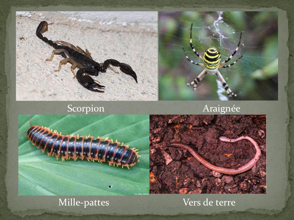 Scorpion Araignée Mille-pattes Vers de terre