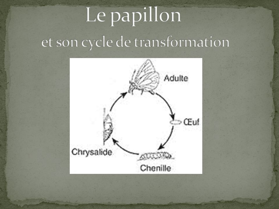 Le papillon et son cycle de transformation