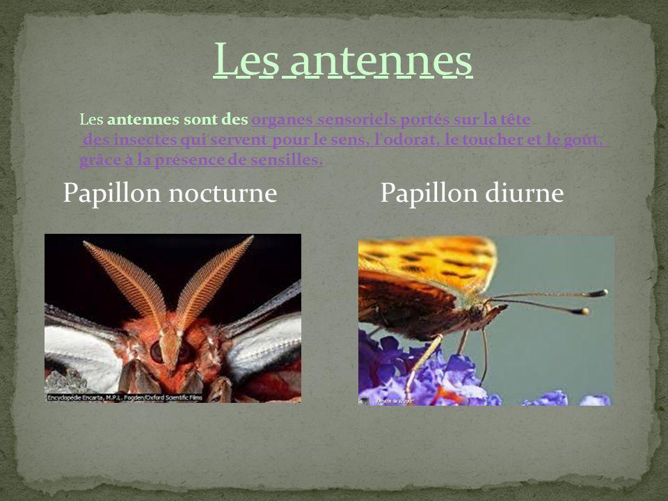 Les antennes Papillon nocturne Papillon diurne