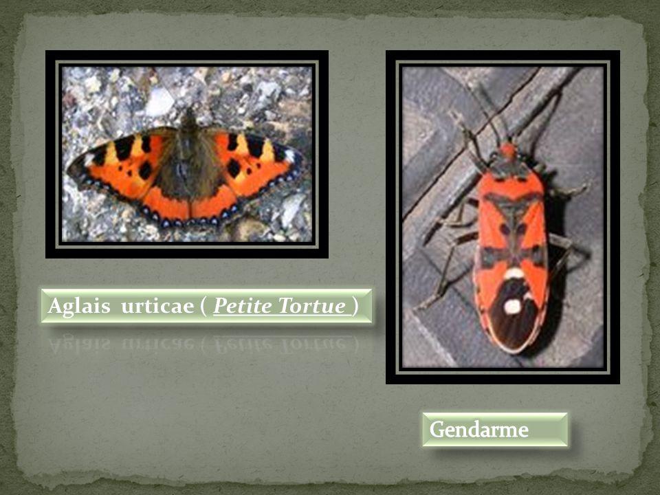 Aglais urticae ( Petite Tortue )