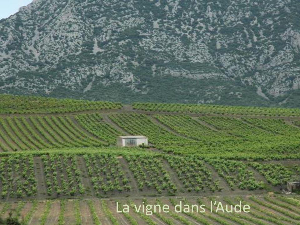 La vigne dans l'Aude La vigne dans l'Aude