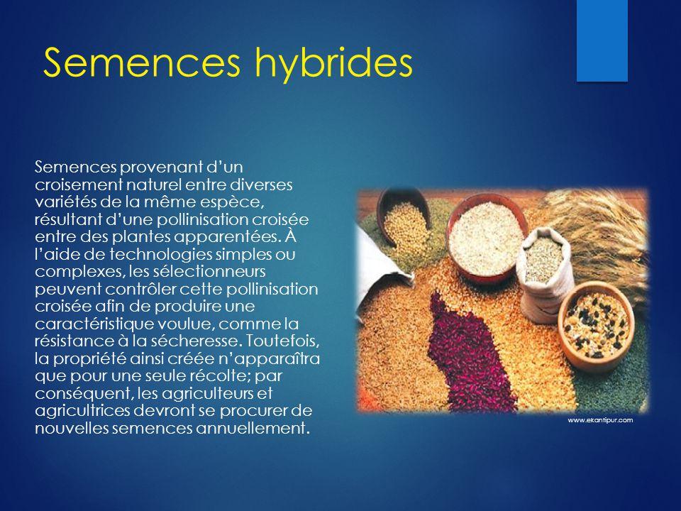 Semences hybrides