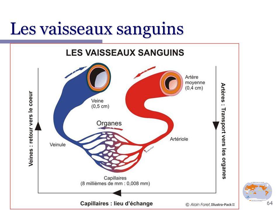 Les vaisseaux sanguins