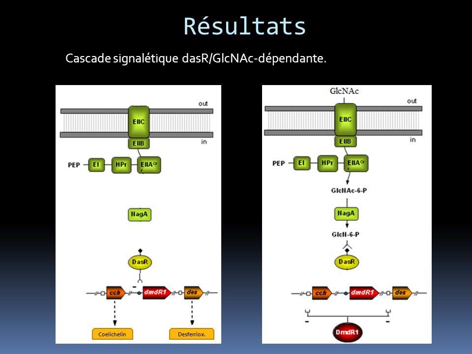 Résultats Cascade signalétique dasR/GlcNAc-dépendante. Coelichelin
