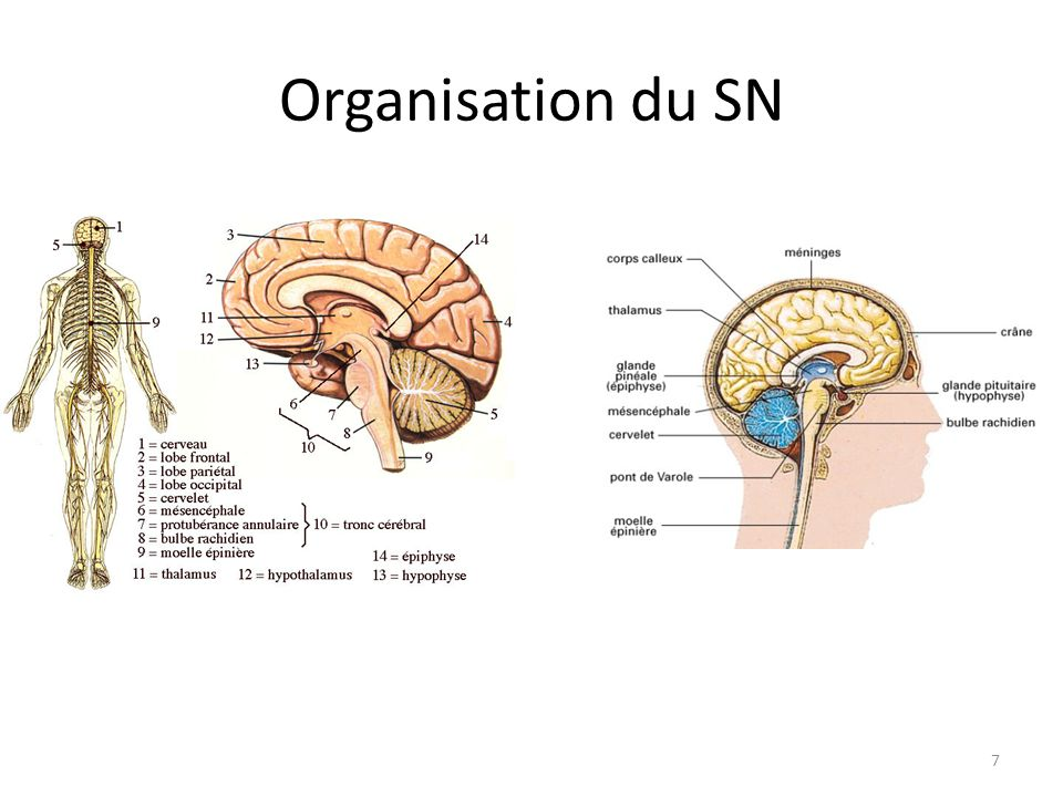 Organisation du SN