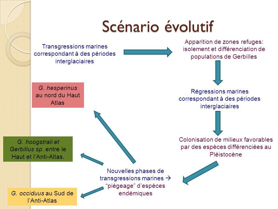 Scénario évolutif Apparition de zones refuges: isolement et différenciation de populations de Gerbilles.