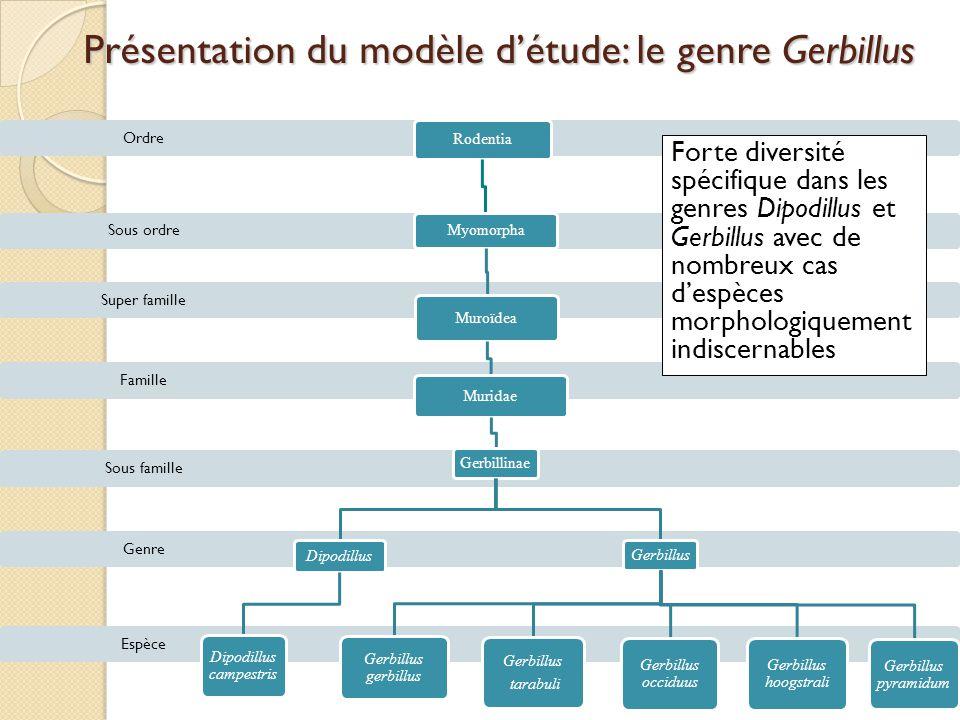 Présentation du modèle d'étude: le genre Gerbillus