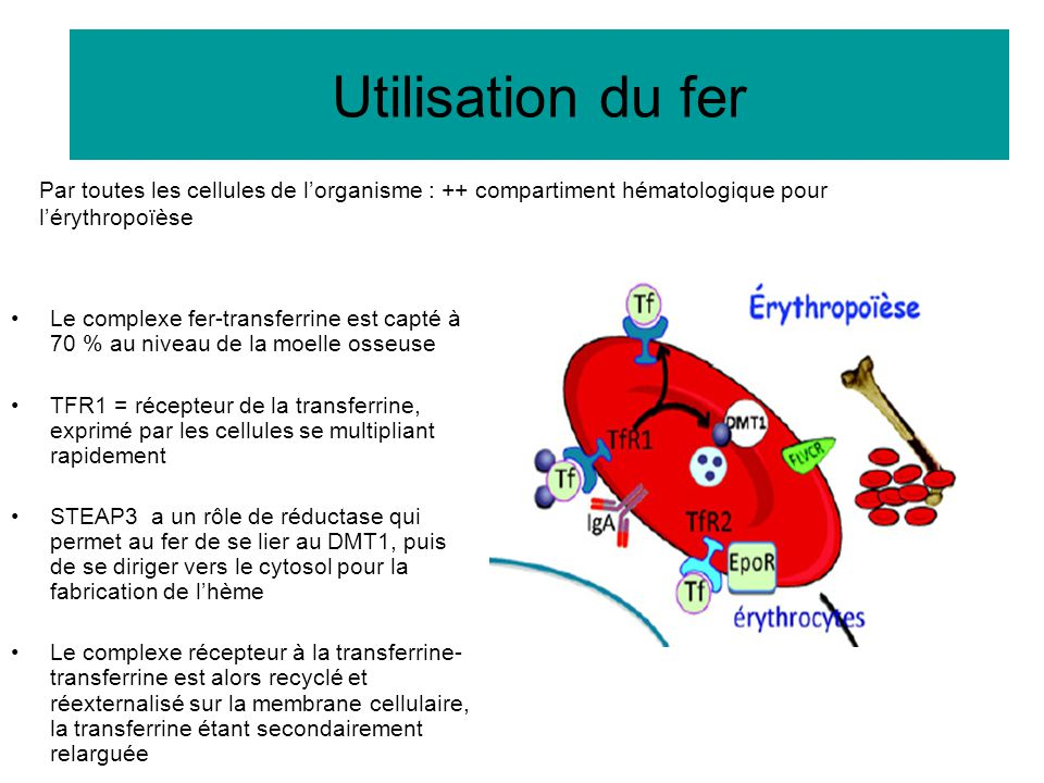 Utilisation du fer Par toutes les cellules de l'organisme : ++ compartiment hématologique pour l'érythropoïèse.