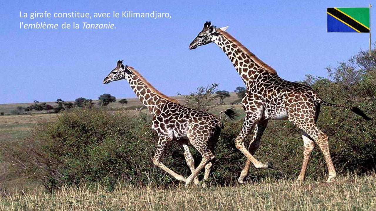 La girafe constitue, avec le Kilimandjaro, l emblème de la Tanzanie.