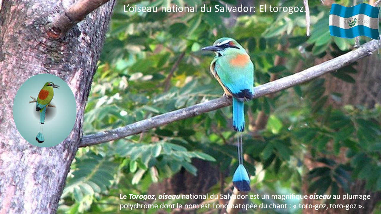 L'oiseau national du Salvador: El torogoz.