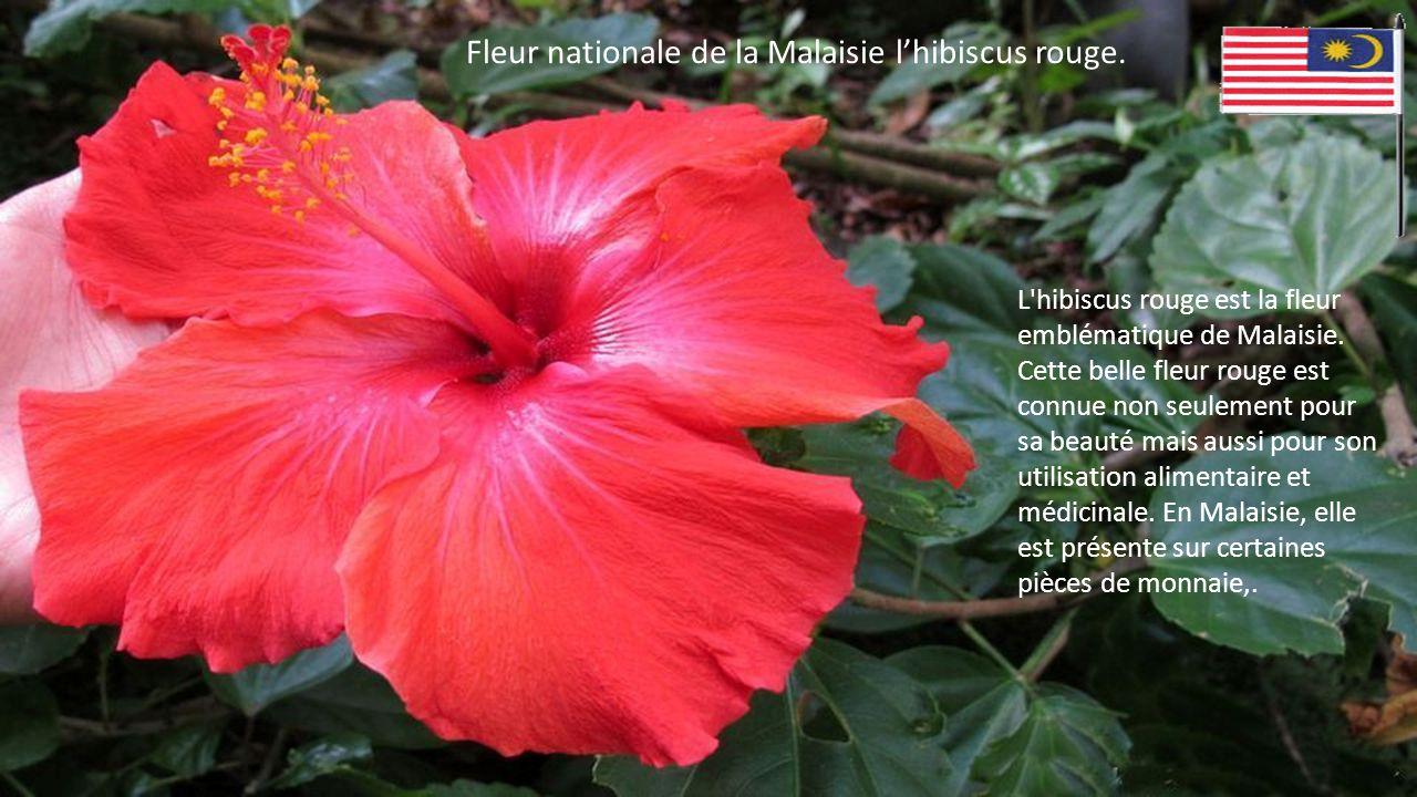 Fleur nationale de la Malaisie l'hibiscus rouge.