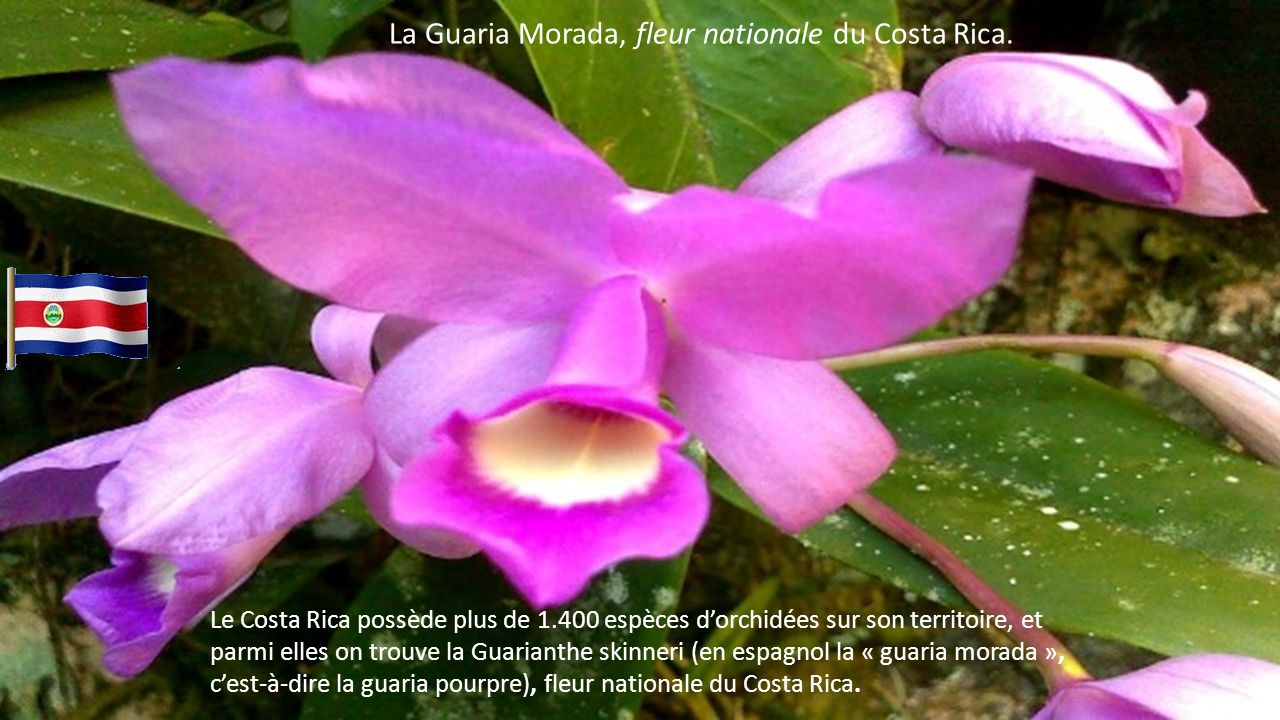 La Guaria Morada, fleur nationale du Costa Rica.