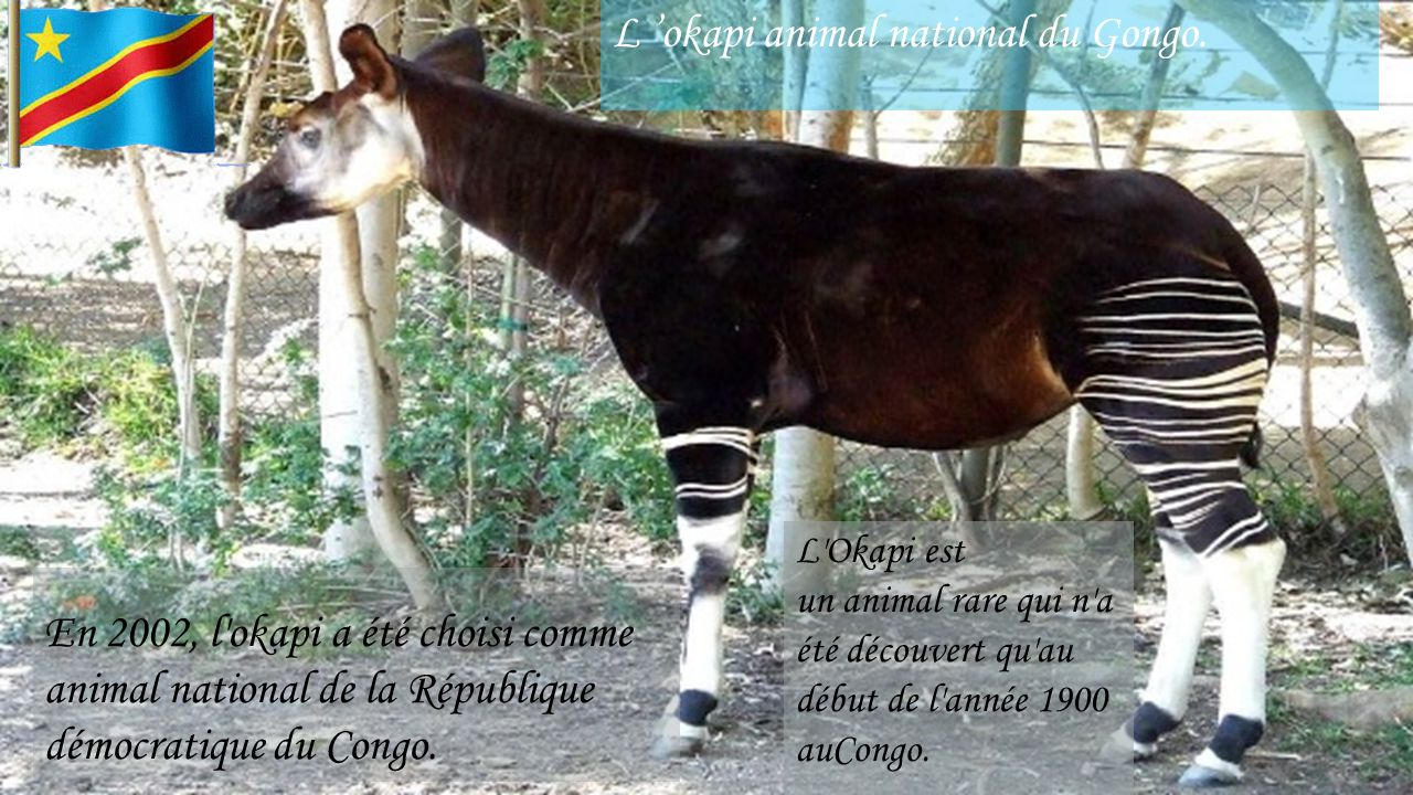 L 'okapi animal national du Gongo.