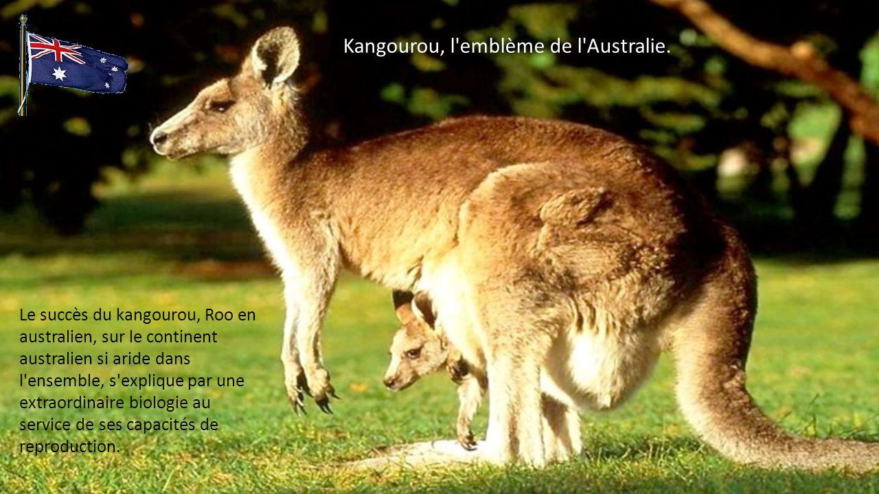 Kangourou, l emblème de l Australie.