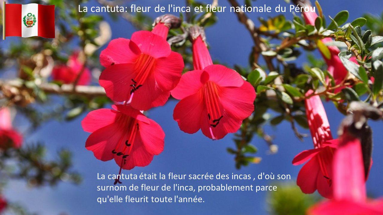 La cantuta: fleur de l inca et fleur nationale du Pérou