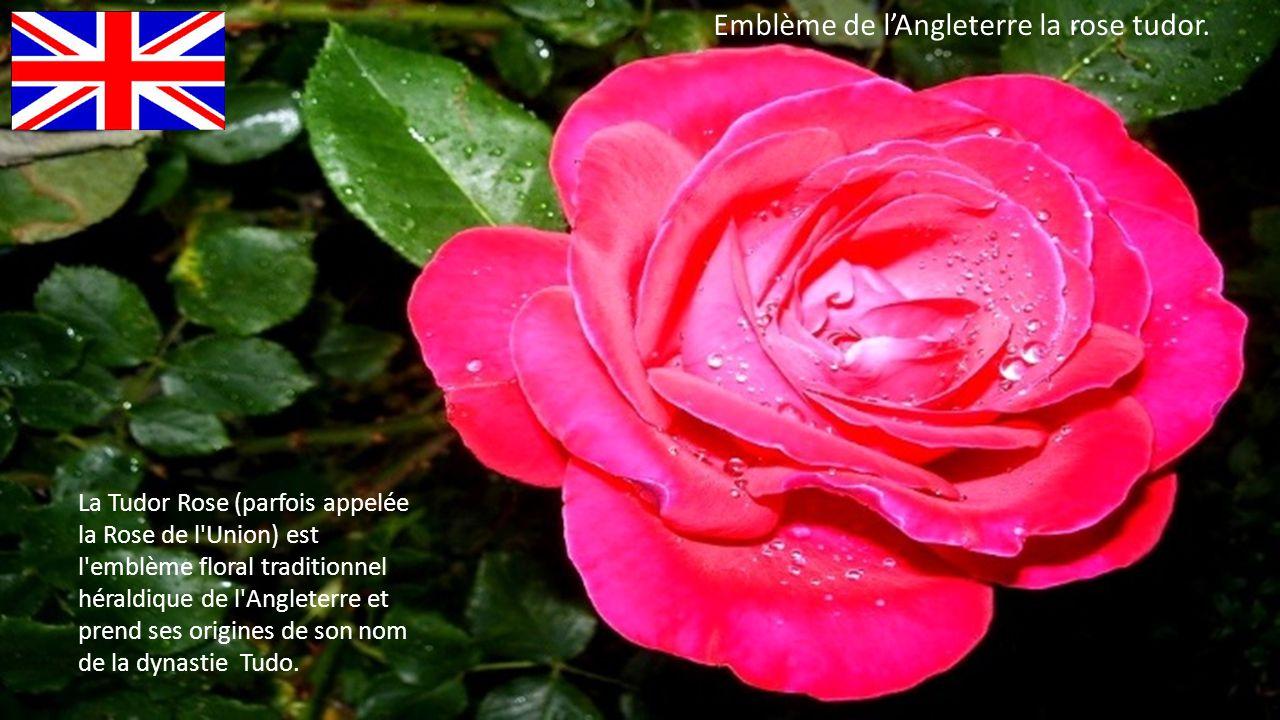 Emblème de l'Angleterre la rose tudor.