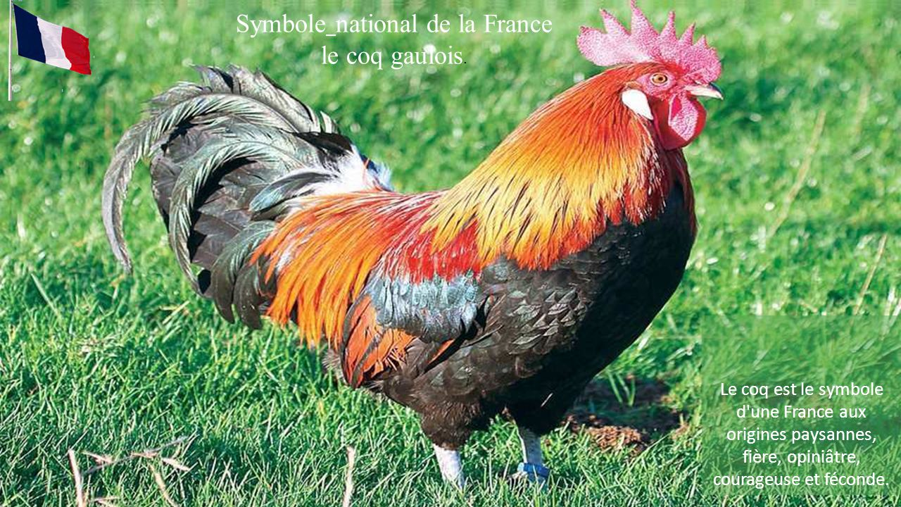 Symbole national de la France le coq gaulois. .