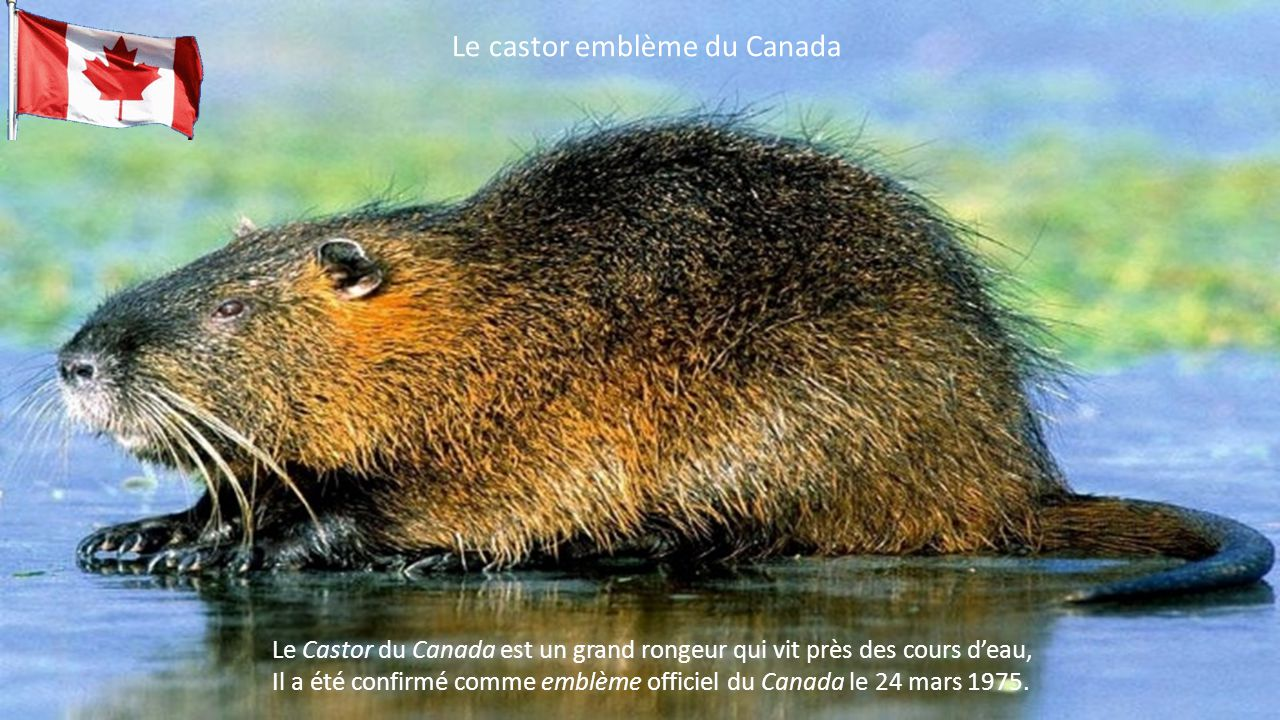 Le castor emblème du Canada