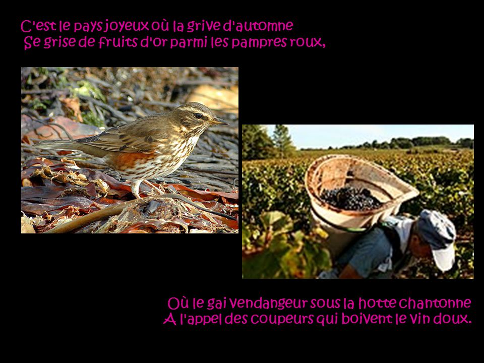 C est le pays joyeux où la grive d automne Se grise de fruits d or parmi les pampres roux,