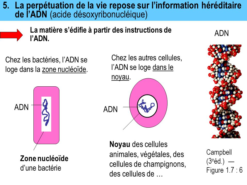 5. La perpétuation de la vie repose sur l'information héréditaire de l'ADN (acide désoxyribonucléique)