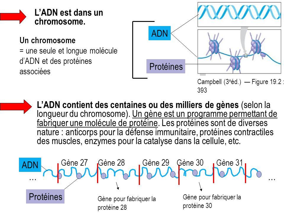 L'ADN est dans un chromosome.