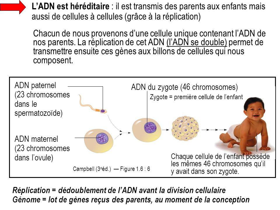 L'ADN est héréditaire : il est transmis des parents aux enfants mais aussi de cellules à cellules (grâce à la réplication)
