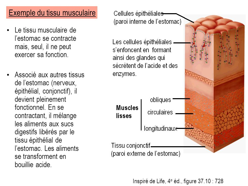 Exemple du tissu musculaire