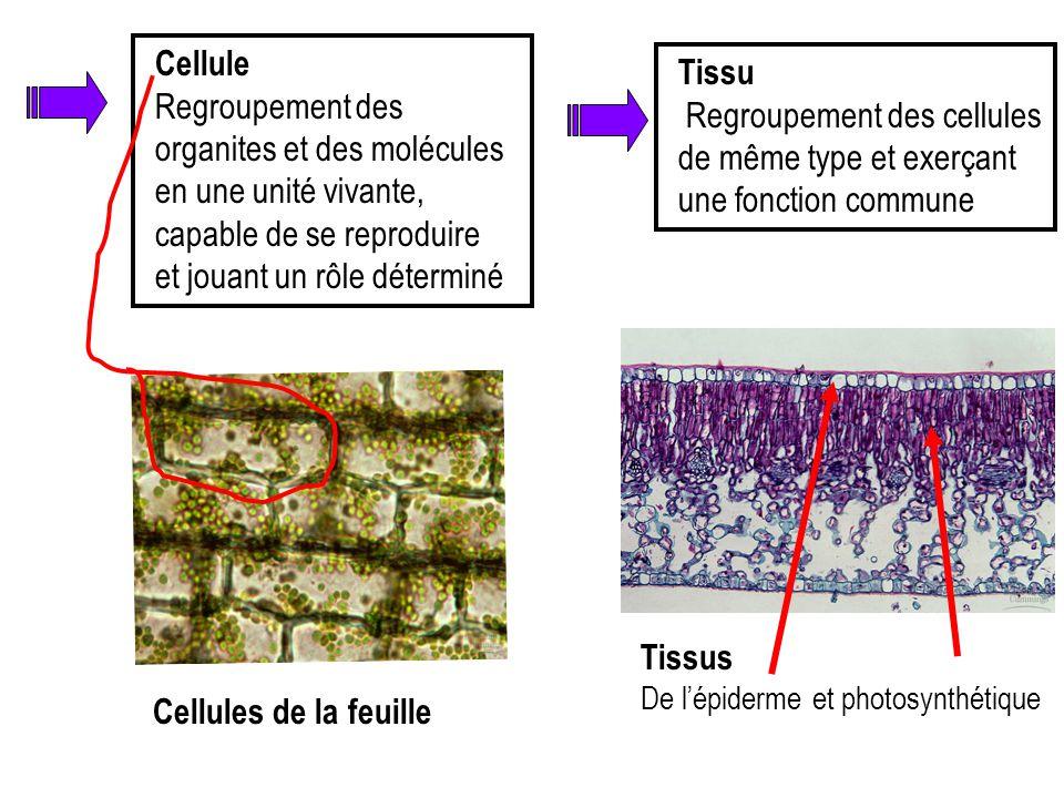 Cellule Regroupement des organites et des molécules en une unité vivante, capable de se reproduire et jouant un rôle déterminé