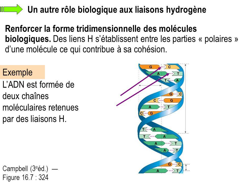 Un autre rôle biologique aux liaisons hydrogène
