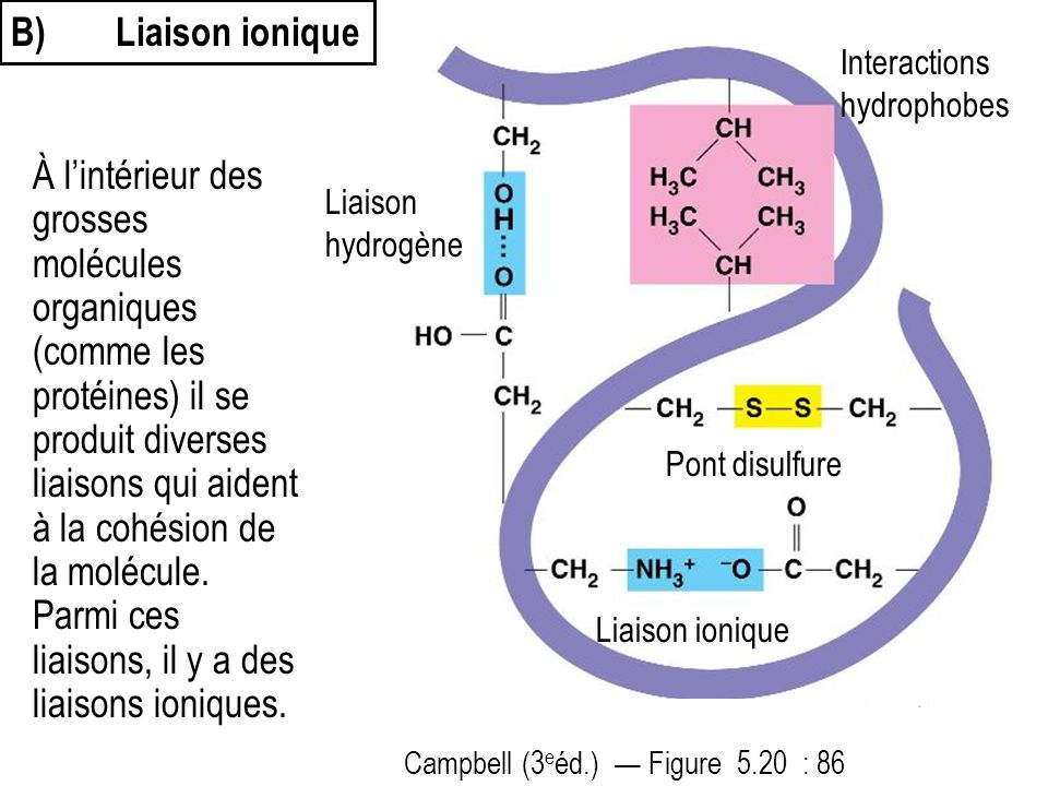 B) Liaison ionique Interactions hydrophobes.