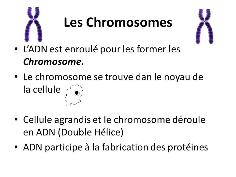 Les Chromosomes L'ADN est enroulé pour les former les Chromosome.