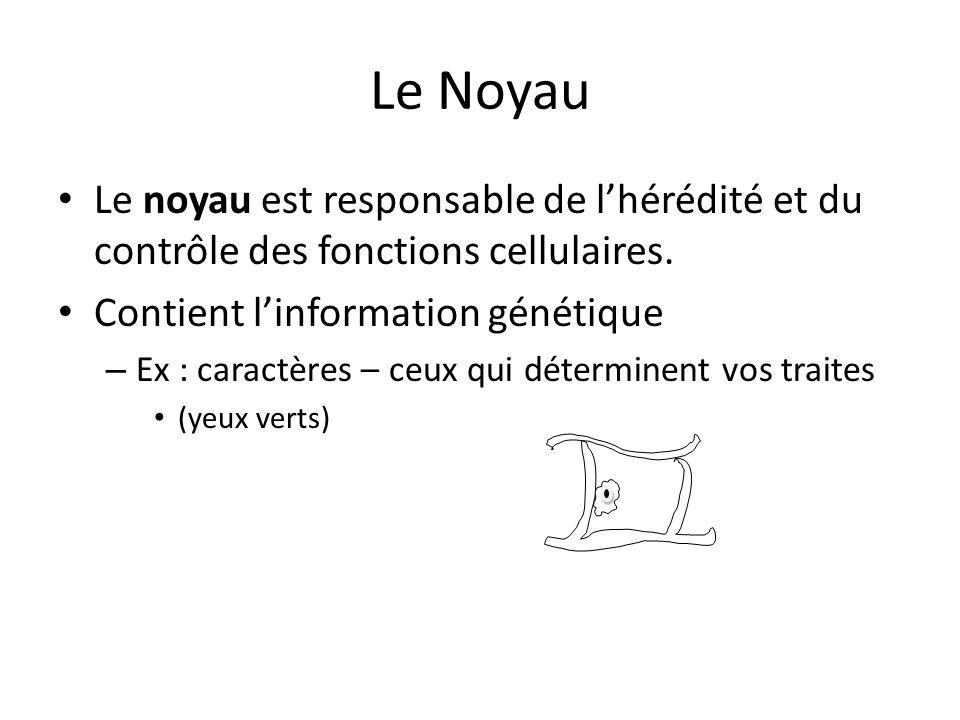 Le Noyau Le noyau est responsable de l'hérédité et du contrôle des fonctions cellulaires. Contient l'information génétique.