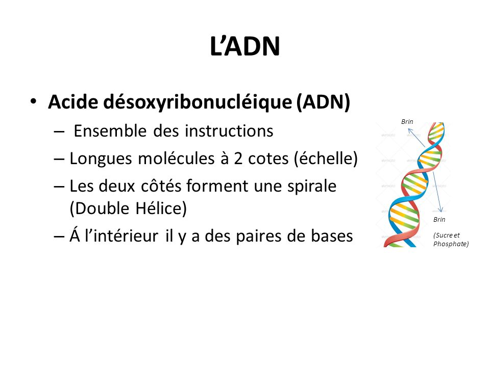 L'ADN Acide désoxyribonucléique (ADN) Ensemble des instructions