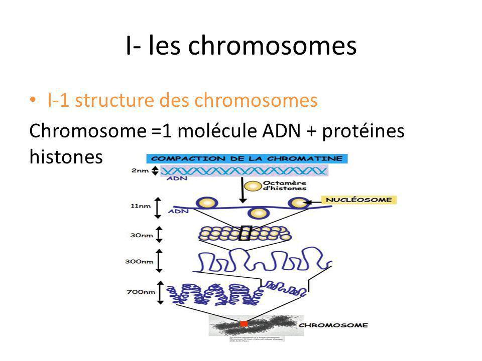 I- les chromosomes I-1 structure des chromosomes