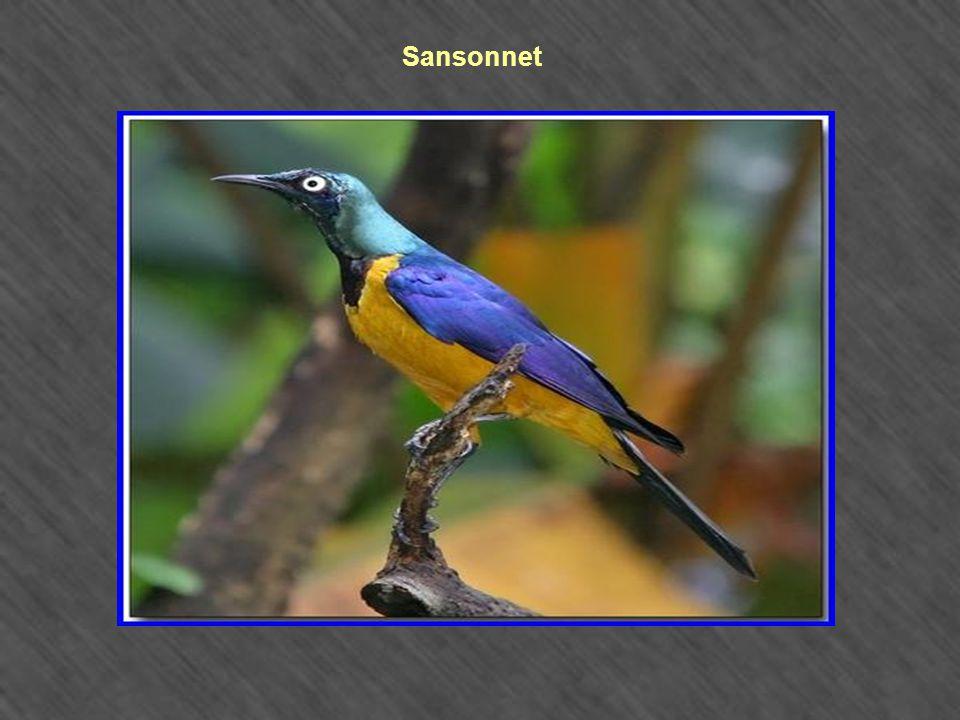 Sansonnet