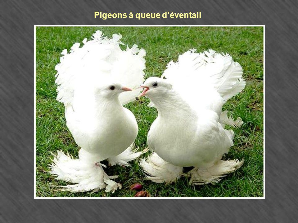Pigeons à queue d'éventail